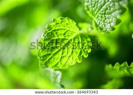 Green fresh melissa officinalis - stock photo