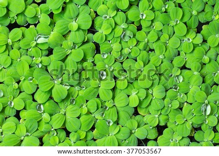 Green fresh. Rain drops water on the green leaves for background.  - stock photo