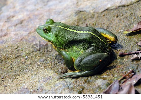 Green frog floating in the water - stock photo