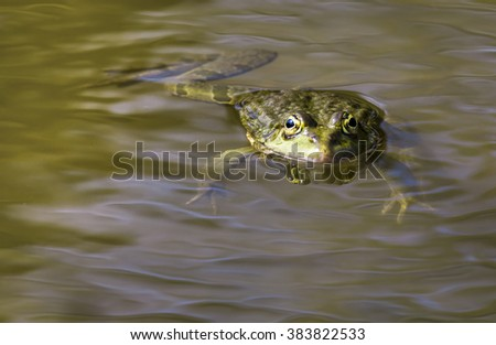 Green frog floating on the water levels with small waves. Wildlife photography. - stock photo