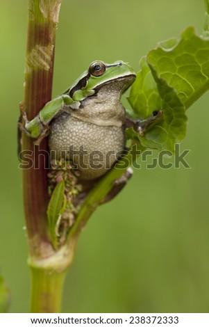 Green frog (Hyla arborea) - stock photo
