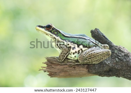 Green Frog, Hylarana erythraea rests at a stick. Image has grain or noise and soft focus when view at full resolution. (Shallow DOF, slight motion blur ) - stock photo