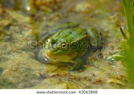 Green frog in a water - stock photo