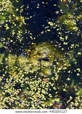 Green frog in green pond in green water flower - stock photo