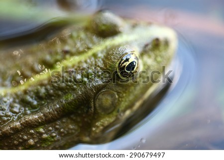 Green frog in the water closeup - stock photo