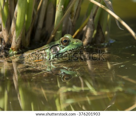 Green Frog in Water/A Green Frog (Rana clamitans) in the water, with a backdrop of reeds and a reflection of its head in the foreground. - stock photo