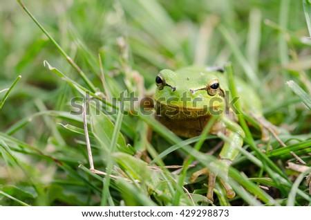 Green frog (Rana ridibunda) in green grass - stock photo