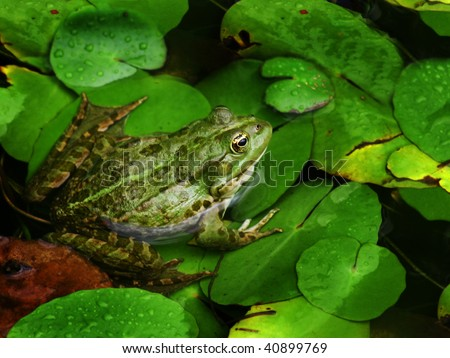 green frog sitting in the water - stock photo