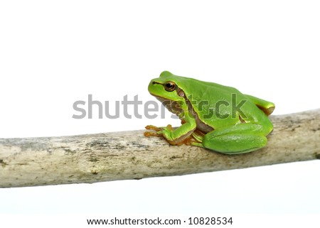 Green frog - tree toad isolated on the white background - stock photo