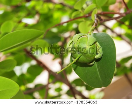 green fruit of a Sonneratia caseolaris tree, middle size wetland tree growing in brackish water zone in asia and Thailand normally founded in mangrove forest - stock photo