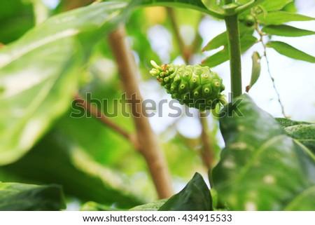 Green Fruit Of Great Morinda, Indian Mulberry, Beach Mulberry, Noni, Morinda Citrifolia, Tahitian Noni, Cheese Fruit - stock photo