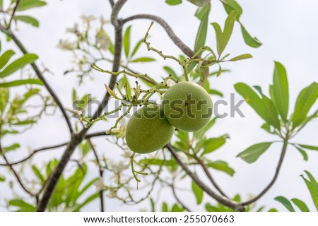 Green fruit seeds of Cerbera manghas tropical evergreen poisonous tree - stock photo