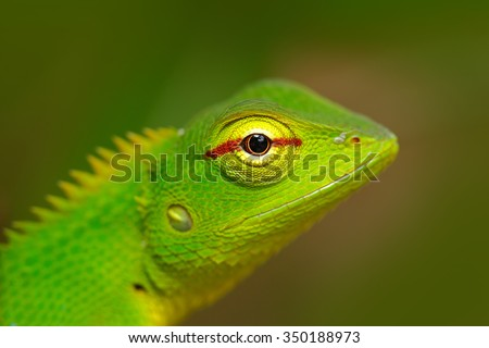 Green Garden Lizard, Calotes calotes, detail eye portrait of exotic tropic animal in the green nature habitat, Sinharaja Forest, Sri Lanka - stock photo