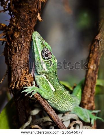 Green Gecko close up - stock photo