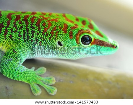 Green gecko lizard - stock photo