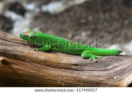 Green gecko with cut and regenerating tail - stock photo
