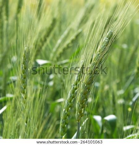 Green grain wheat growing in farm field - stock photo
