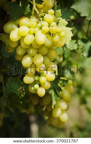 Green Grape in Sunny Day - stock photo