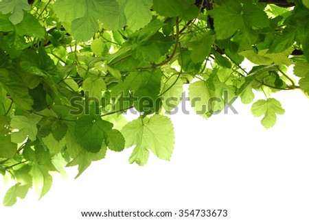 Green grape leaf on vine for nature background isolated on white  - stock photo