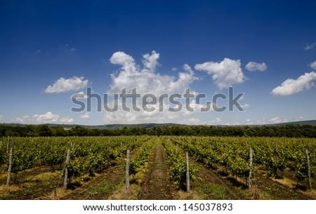 Green grape plantation under blue sky - stock photo
