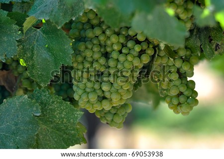 Green Grapes Close Up in Napa Valley Ready to be made into Wine - stock photo