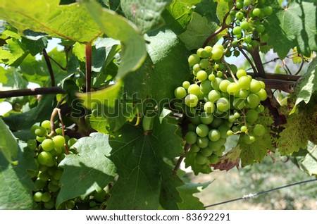 Green grapes in vineyeard. - stock photo