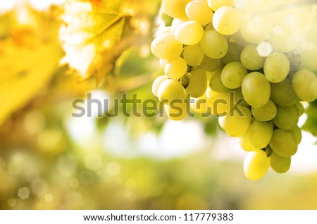 Green grapes on vine over bright background - stock photo