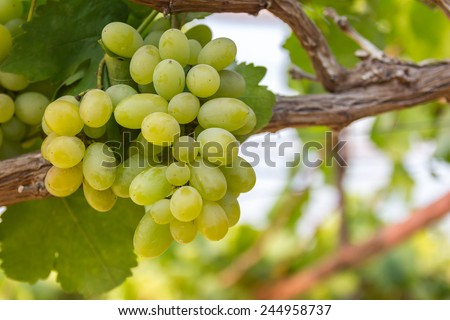Green grapes on vine with soft background - stock photo