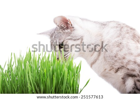 green grass cat Isolated on white background - stock photo