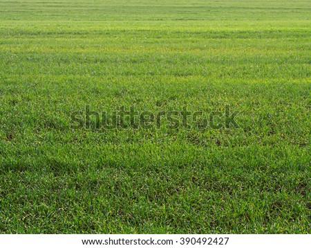 Green grass field background, grassland texture - stock photo