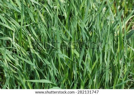 Green grass. Macro. Close up.                                - stock photo