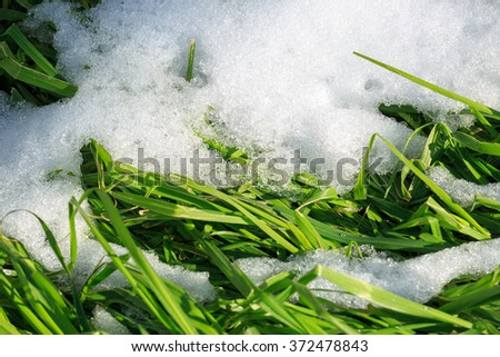 Green grass makes its way out of the snow - stock photo