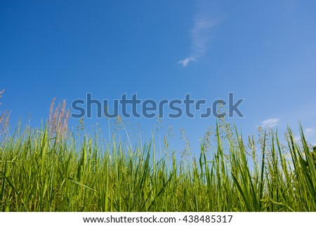 Green grass on a background of blue sky. Grass and sky. Summer panorama of wild nature. A large sky on a summer day. - stock photo
