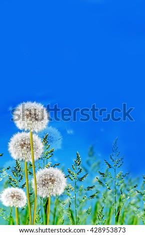 green grass on blue sky background. dandelion - stock photo