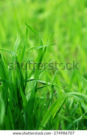 Green grass on nature background, close up - stock photo