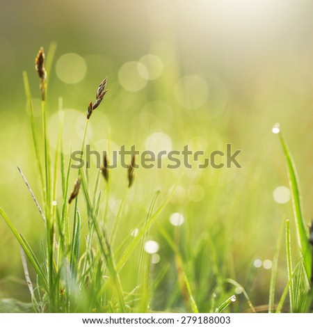 Green grass with dew in field. Morning fresh outdoor nature background  - stock photo