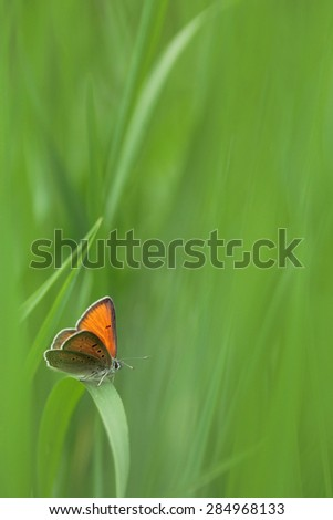 Green grass with Purple-edged Copper butterfly (Lycaena hippothoe) - stock photo