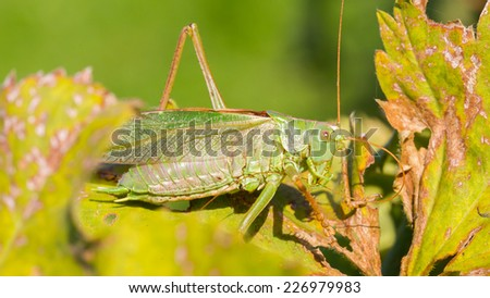 Green grasshoper sitting on the leaf in a garden - stock photo