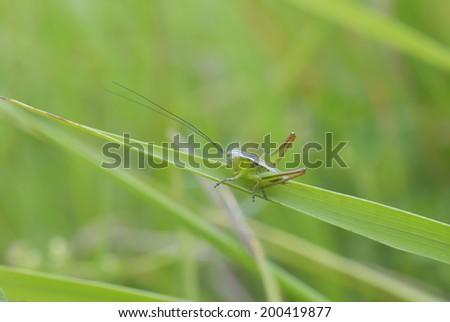 Green grasshopper - stock photo