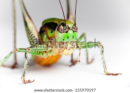 Green Grasshopper isolated, closeup. - stock photo