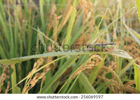 green grasshopper on paddy rice  - stock photo