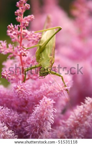 Green grasshopper on the pink flower #2 - stock photo