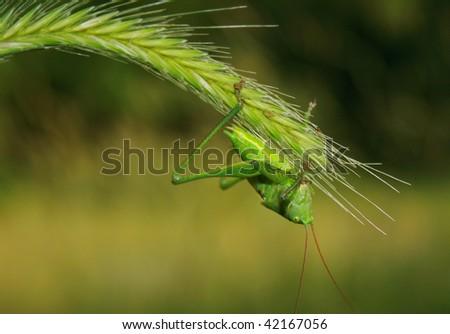 green grasshopper sits on flower - stock photo