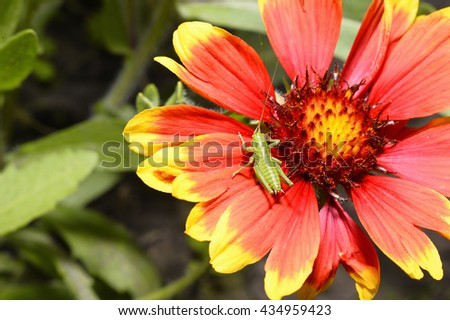 Green grasshopper sitting on orange-yellow flower helenium macro - stock photo