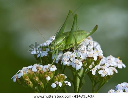 Green grasshopper (Tettigonia viridissima) on a flower Yarrow (Achillea), wildlife, macro - stock photo