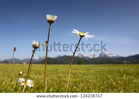 Green grassland and camomiles , mountains in bavaria, Germany - stock photo