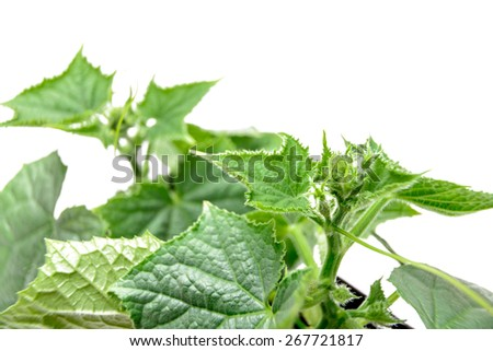 green greenhouse cucumber plant in organic agriculture, green leaves of young plants. - stock photo