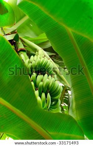 Green grown bananas among their big leaves. - stock photo