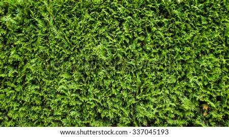Green Hedge of Thuja Trees (cypress, juniper).  Bush, thuja.  Thuja green natural background. Hedge of thuja trees, close up. Thuja texture. Green Hedge of Thuja Trees. Leaves of pine tree  - stock photo