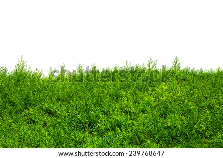 Green Hedge of Thuja Trees (cypress, juniper). Green bush hedge isolated on white with space for text. Copy space - stock photo